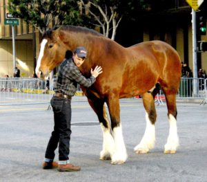 clydesdale-horse-branding